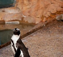 Penguin Stare Down by Philip Amoroso