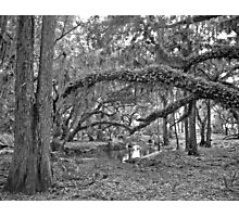 Oak and Resurrection Ferns. Three Lakes W.M.A. Photographic Print