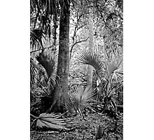 Oak and Palm. Green Swamp W.M.A. Photographic Print