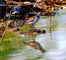 Spotted Sandpiper by Larry Trupp