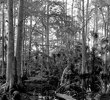 Cypress Swamp #2. Green Swamp W.M.A. by chris kusik