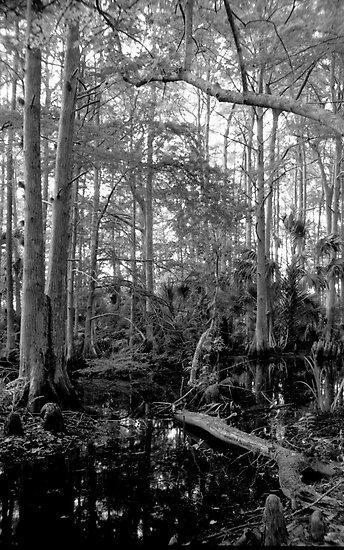 Cypress Swamp #2. Green Swamp W.M.A. by chris kusik