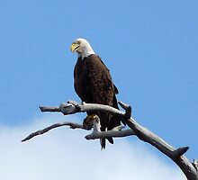 Bald Eagle. Shingle Creek  by chris kusik