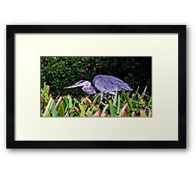 Great Blue Hunter. Chassahowitzka N.W.R. Framed Print