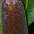 Beautiful Banksia by TheaShutterbug