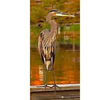 Great Blue Heron. Blue Cypress Lake. Photographic Print