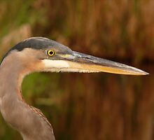 Great Blue Heron Portrait. Blue Cypress Lake. by chris kusik