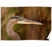 Great Blue Heron Portrait. Blue Cypress Lake. Poster
