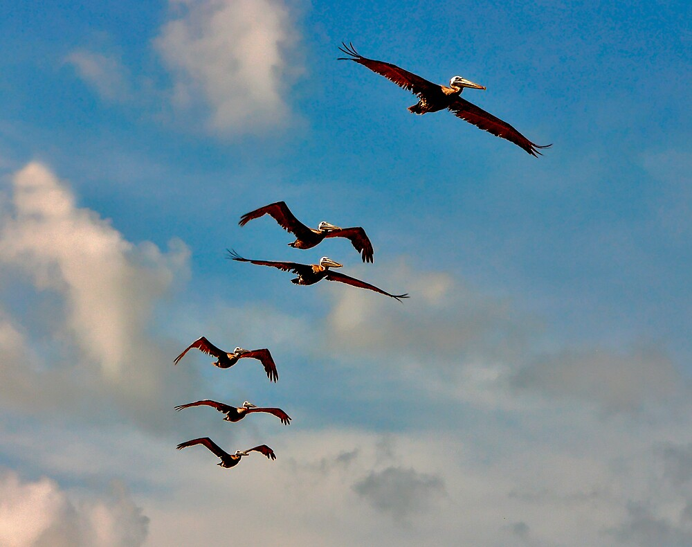 Pelicans in Flight. Melbourne Shores Florida. by chris kusik