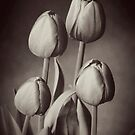 Tulips by Malcolm Garth