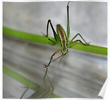 Young Green Grasshopper Poster