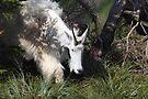 Mountain goat mother II by zumi