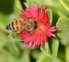 Honey Bee and Brown Ant by TheBluePlanet