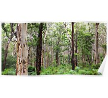 Karri forest Western Australia Poster