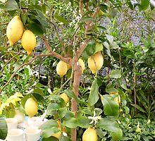 Lemon Tree by mrsmcvitty