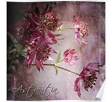 Astrantia Blossoms Poster