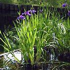 Iris -- Maymont Japanese Garden by AJ Belongia