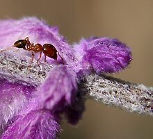 The Ant and it's Purple Comforter...  by Qnita