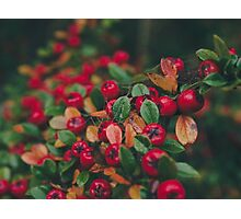 Tiny Winter Berries Photographic Print