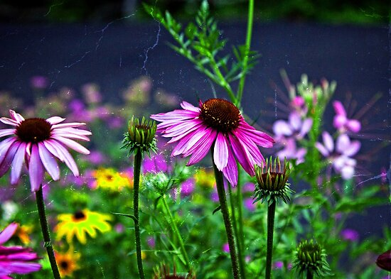Coneflowers in the garden  by KSKphotography