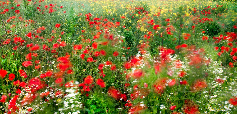 Poppies  by russw