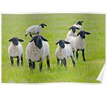 Suffolk Sheep Poster