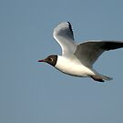 Black-Headed Gull  by Margaret S Sweeny