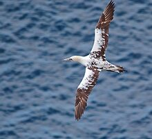 Gannet in flight by Margaret S Sweeny