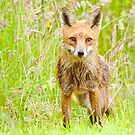 Red Fox by Margaret S Sweeny