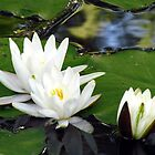 Waterlilies growing in a lake by Susanna Hietanen