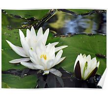 Waterlilies growing in a lake Poster