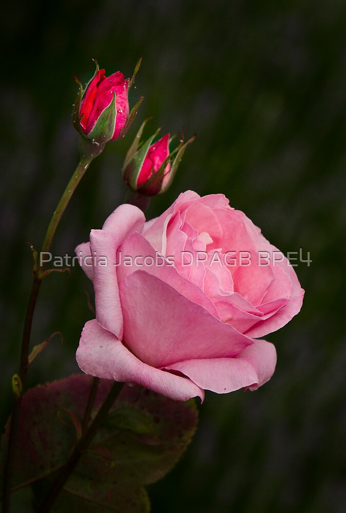 Roses by Patricia Jacobs CPAGB LRPS BPE4