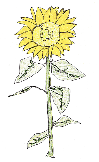 sunflower  by dthaase