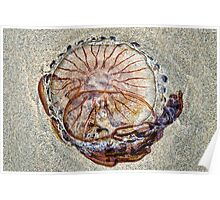 Compass Jellyfish ~ Lyme Regis Poster