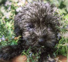 Schnoodle Puppy by Lee-Anne Rafferty-Evans