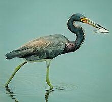 Tricolor Heron  by Joe Jennelle