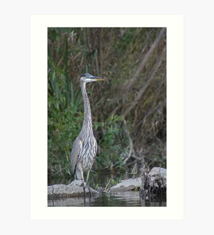 Great Blue Heron on the Milwaukee River Art Print