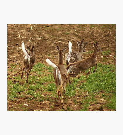 Four Whitetails at Holy Hill Photographic Print