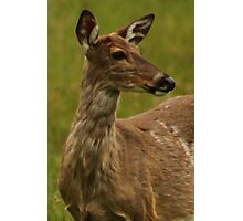 Deer Bust Portrait Photographic Print