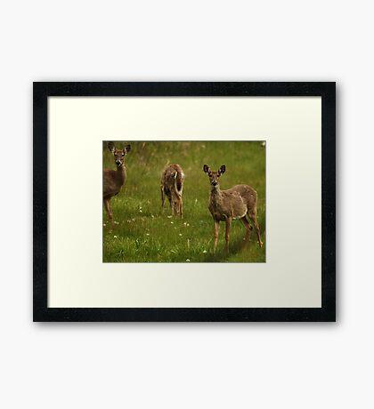Three Deer Framed Print