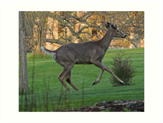 Running White-Tailed Buck by Thomas Murphy