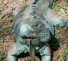 Blue iguana by Jaime Pharr