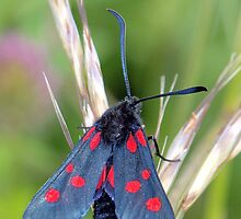 Narrow-Bordered Five-Spot Burnet ~ Zygaena lonicerae by Clive
