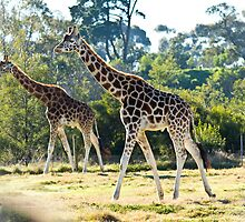 Giraffe at Werribee Open Range Zoo by Penny Lewis
