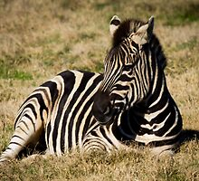 Zebra at Werribee Open Range Zoo by Penny Lewis