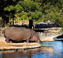 Hippo at Werribee Open Range Zoo by Penny Lewis