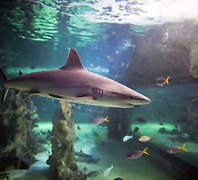 Grey Reef Shark by Sydney Aquarium  Conservation Fund (SACF)