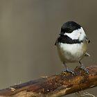 Black-capped Chickadee by Wayne Wood