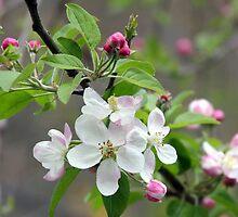 Cherry Blossom Branch by Paula Tohline  Calhoun