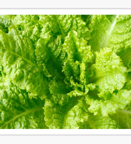 Lettuce closeup Sticker